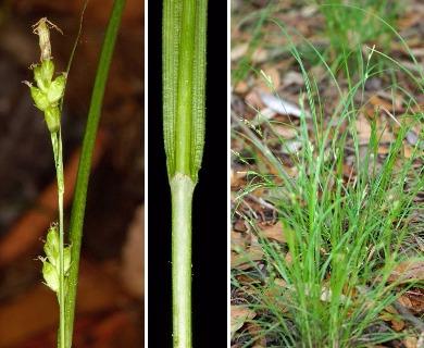 Carex godfreyi