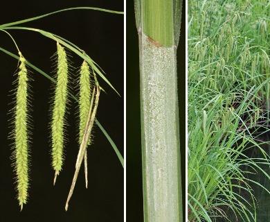 Carex gynandra