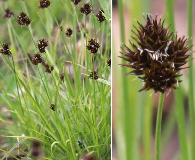 Carex haydeniana