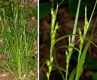 Carex hitchcockiana