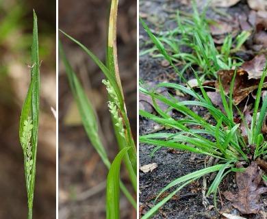 Carex kraliana