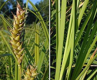 Carex laeviconica