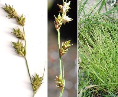 Carex laeviculmis