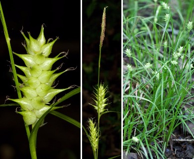 Carex louisianica