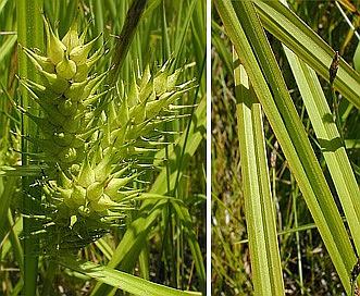 Carex lupuliformis
