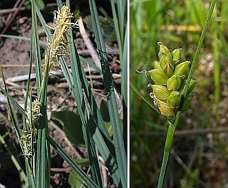 Carex meadii