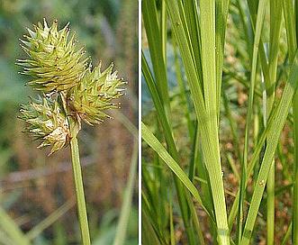 Carex molesta