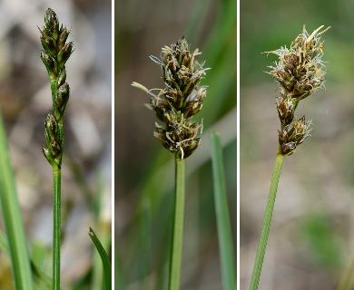 Carex muricata