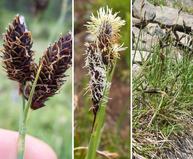 Carex paysonis