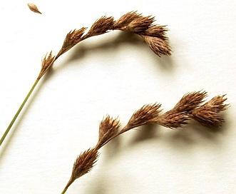 Carex projecta