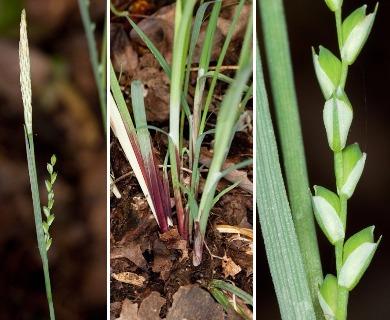 Carex purpurifera