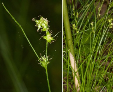 Carex retroflexa