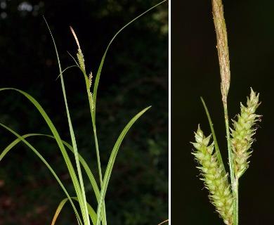 Carex scabrata