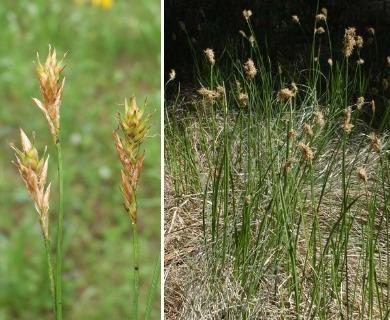 Carex siccata