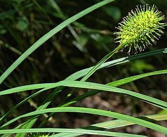 Carex squarrosa