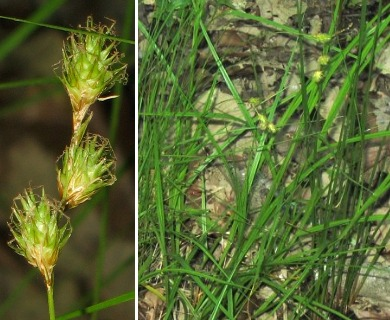 Carex straminea