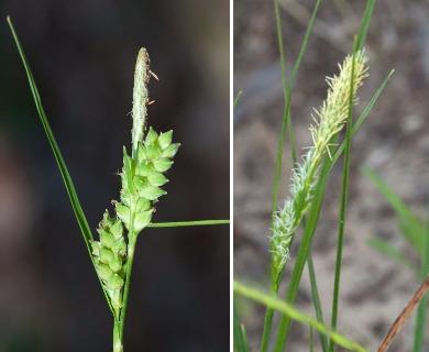 Carex tenax