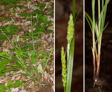 Carex virescens