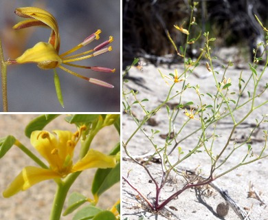 Carsonia sparsifolia