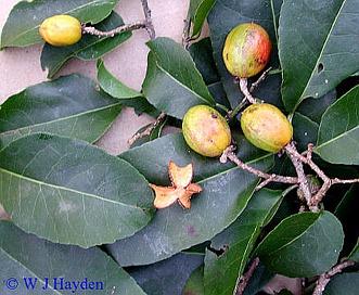 Casearia corymbosa