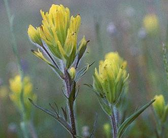 Castilleja aquariensis