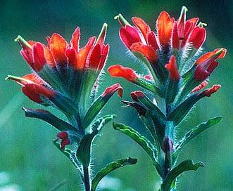Castilleja scorzonerifolia