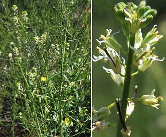 Caulanthus lasiophyllus