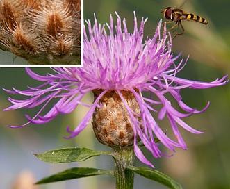 Centaurea X moncktonii