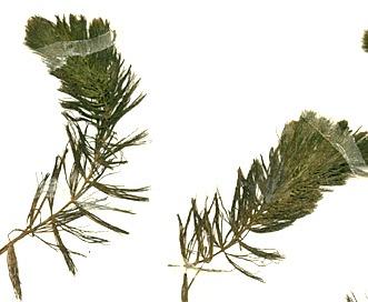 Ceratophyllum echinatum