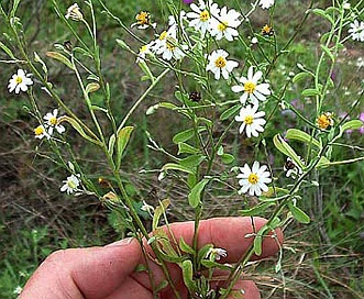 Chaetopappa asteroides