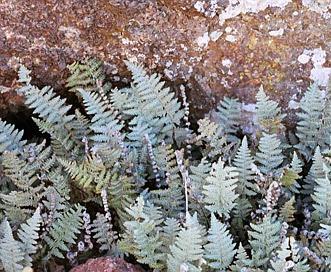 Cheilanthes lindheimeri