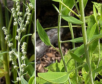 Chenopodium pratericola