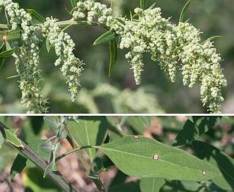 Chenopodium standleyanum