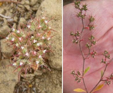 Chorizanthe uniaristata