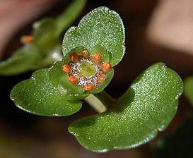 Chrysosplenium americanum