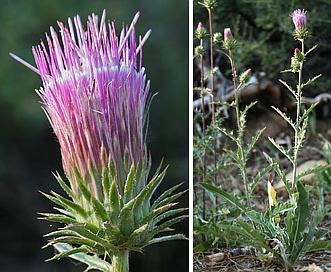 Cirsium andersonii