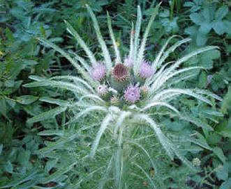 Cirsium foliosum