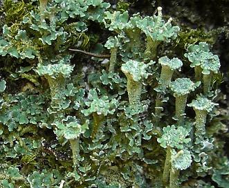 Cladonia grayi