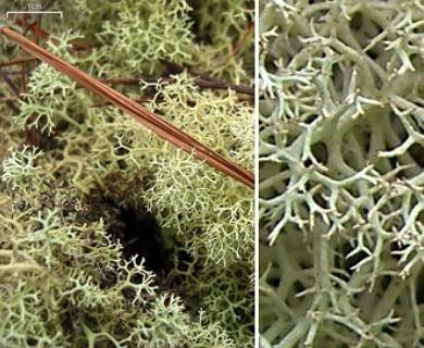 Cladonia subtenuis
