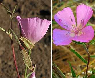 Clarkia bottae