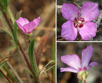 Clarkia lassenensis