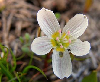 Claytonia arenicola