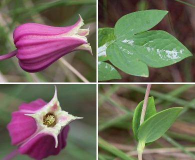 Clematis glaucophylla