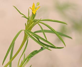 Cleomella angustifolia