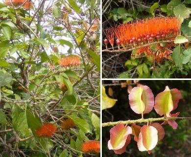 Combretum fruticosum