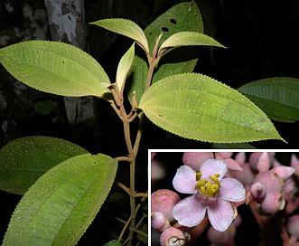 Conostegia xalapensis