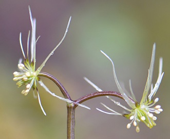 Coptis aspleniifolia