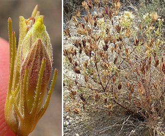 Cordylanthus ramosus