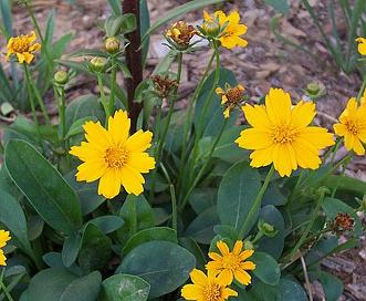 Coreopsis auriculata