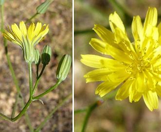 Crepis pulchra